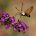 Hummingbird Moth by Tim Devine