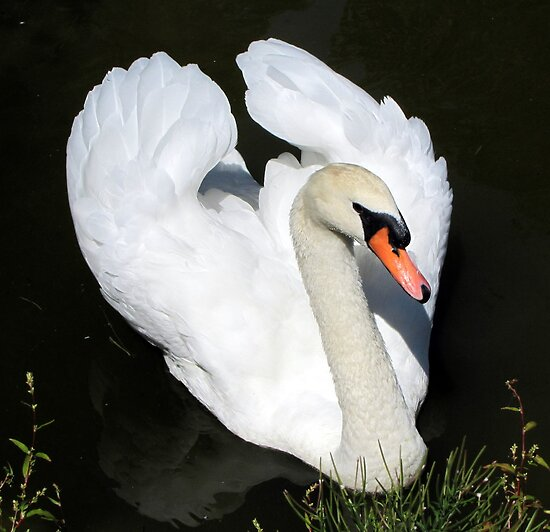 swan II by Leeanne Middleton