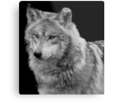 Silver Wolf Metal Print