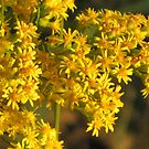 Goldenrod  by lorilee