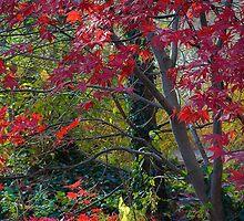 Red Maples  by olga zamora