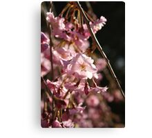 Full Bloom Cherry Blossoms Canvas Print