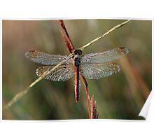 Early Morning Dragonfly Poster