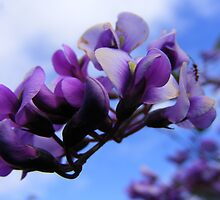 Happy Wanderer. (Hardenbergia violacea) by Esther's Art and Photography