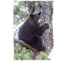 Baby Bear Cub in the Tree Poster