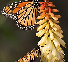 Two Monarchs by Joe Thill