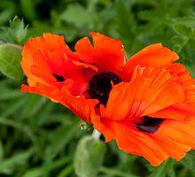 Poppy by Aler