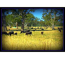 Cows in the country Photographic Print