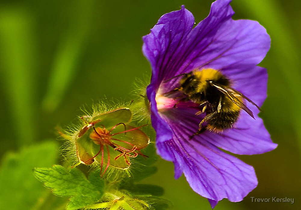 The Pollen Collector by Trevor Kersley