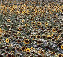 Depressive Sonnenblumen by M H