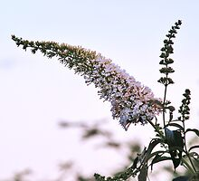 Buddleia Davidii by WatscapePhoto