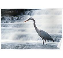 Great Blue Heron Stalking Poster