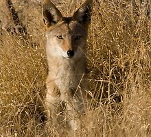 Black-backed Jackal (Canis mesomelas), Moremi Reserve, Botswana by Neville Jones