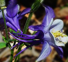 Columbine by LynnL