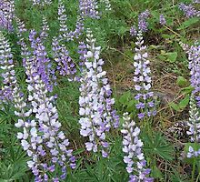 Wild Lupine by Betty  Town Duncan