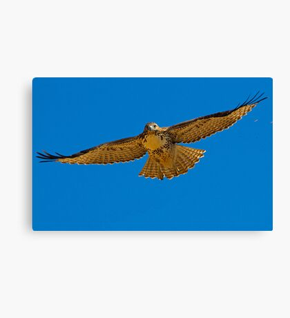 082810 Red Tailed Hawk Canvas Print