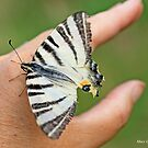 Scarce Swallowtail, Iphiclides podalirius,  on the photographer's hand B by pogomcl