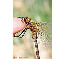 Brilliant Emerald, Somatochlora metallica on the photographer's finger.A Photographic Print