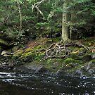 Old tree at Mink falls creek - Marathon Ontario by loralea