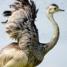 Greater Rhea (Rhea americana) - Bolivia by Jason Weigner