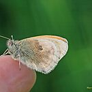 Small Heath, Coenonympha pamphilus, on the photographer's fingers B by pogomcl