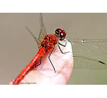 Red-veined Darter, Sympetrum fonscolombii on the photographer's thumb Photographic Print