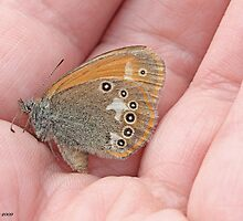 Chestnut Heath, Coenonympha glycerion by pogomcl