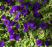 Newbury Street Puple Flower Bush by photosbycoleen