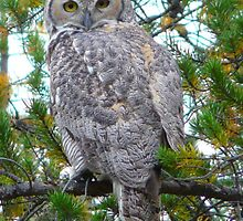 Horned Owl 2 by MaeBelle