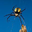 (Argiope aurantia) Banana Spider   by Sean McConnery