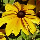 Black-eyed Susan! by flyprincess
