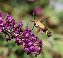 Hummingbird Moth II by Tim Devine