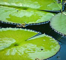 Lily Pads by Robert H Carney