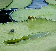 Dragonfly Watching the Lily Pad by Robert H Carney