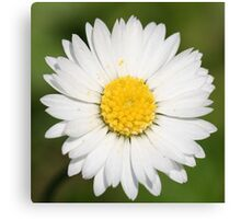 Closeup of a Beautiful Yellow and Wild White Daisy flower Canvas Print
