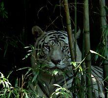 White Bengal Tiger by ctellis156