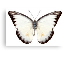 White butterfly species Appias lyncida Canvas Print