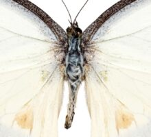 White butterfly species Appias lyncida Sticker