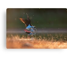Black-winged stilts mating Canvas Print