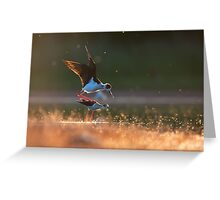 Black-winged stilts mating Greeting Card