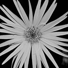 Gerbera by cosmicpower