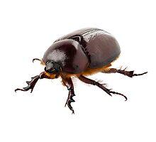 "European rhinoceros beetle female ""Oryctes nasicornis"" species Photographic Print"