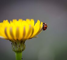 Ladybug on Flower by Anthony Milnes