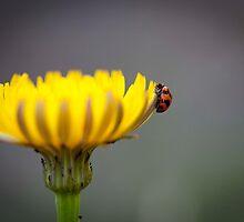 Ladybug on Flower by Anthony Milnes