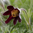Pasque Flower (Pulsatilla rubra yunnan) by Tom Curtis