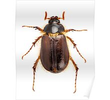 "Cockchafer or june beetle ""Amphimallon solstitialis"" species isolated on white background Poster"