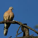 spotted turtle-dove by houenying