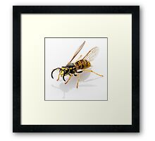 wasp Vespula germanica species isolated on white background Framed Print