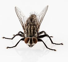 Flesh fly species sarcophaga carnaria isolated on white background  by paulrommer