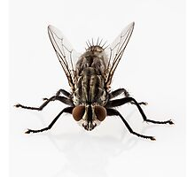 Flesh fly species sarcophaga carnaria isolated on white background  Photographic Print